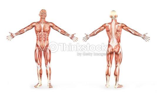 Los Músculos Hombre Anatomía Humana Foto de stock | Thinkstock