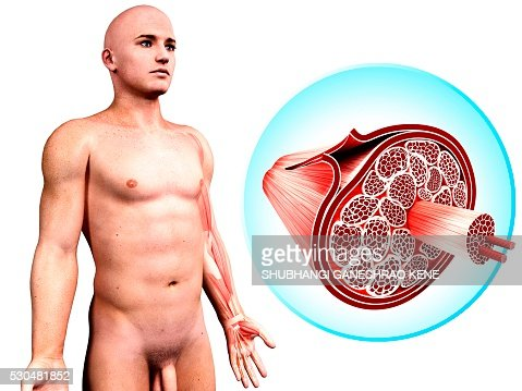 human muscular structure computer artwork stock photo | getty images, Muscles