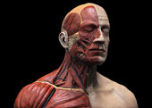 Frontal view of 3D render of human head and torso muscular structure on black background.