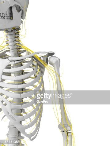 human nerves : Stock Photo