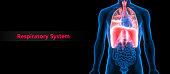 3D Illustration of Human Respiratory System (Lungs, Diaphragm) Anatomy