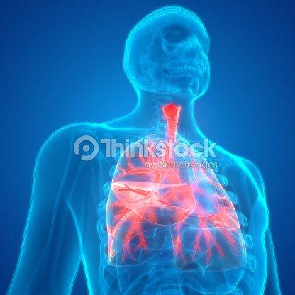 Sistema Respiratorio Humano Pulmones Anatomía Foto de stock | Thinkstock