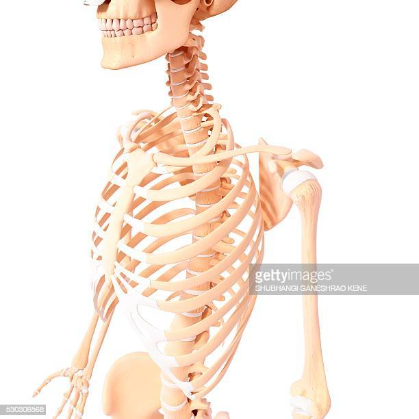 Skeleton Chest Stock Photos And Pictures Getty Images