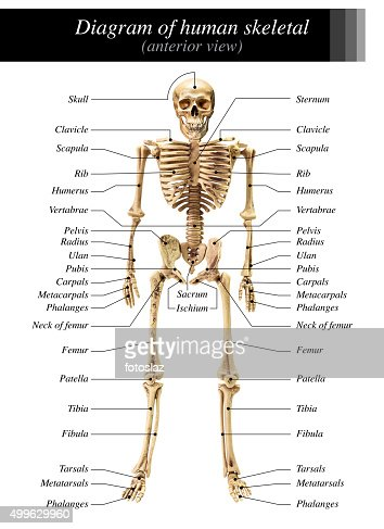 human skeleton diagram stock photo | thinkstock, Skeleton