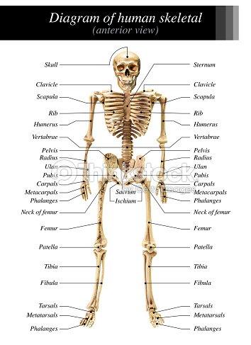 Human Skeleton Diagram Stock Photo Thinkstock