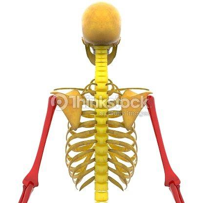 Esqueleto Humano HÚmeros Radio Y Los Huesos Del Cúbito Foto de stock ...