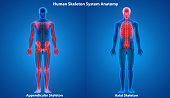 3D Illustration of Human Skeleton System Appendicular and Axial Skeleton Anatomy