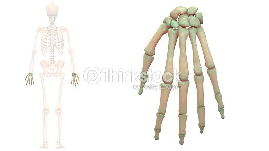 Menschliches Skelett System Hand Knochen Anatomie Stock-Foto ...