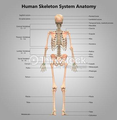 Menschliches Skelett System Label Design Anatomie Stock-Foto ...