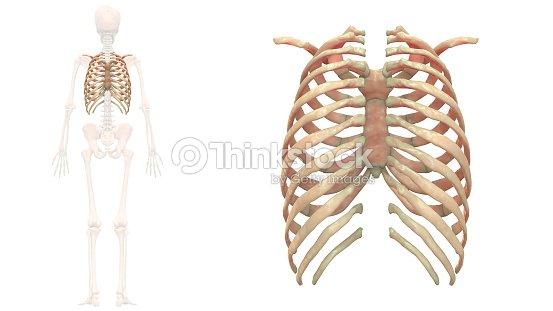 Sistema Esquelético Humano Caja Torácica Anatomía Foto de stock ...