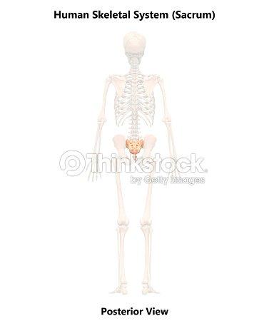 Menschliches Skelett System Kreuzbein Anatomie Stock-Foto | Thinkstock