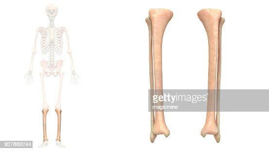 anatomy fibula and tibia pdf