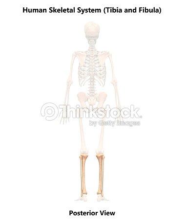 Sistema Esquelético Humano Tibia Y Peroné Anatomía Foto de stock ...