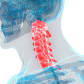 3D Illustration of Human Skeleton System Vertebral Column Cervical Vertebrae Anatomy