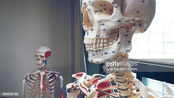 Human Skeletons In Classroom