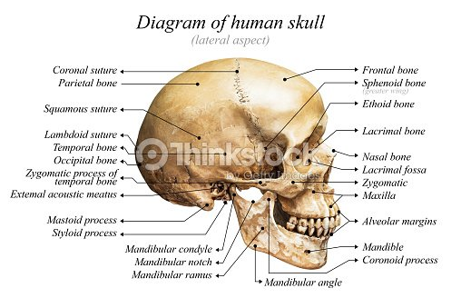 Human Skull Diagram Stock Photo   Thinkstock