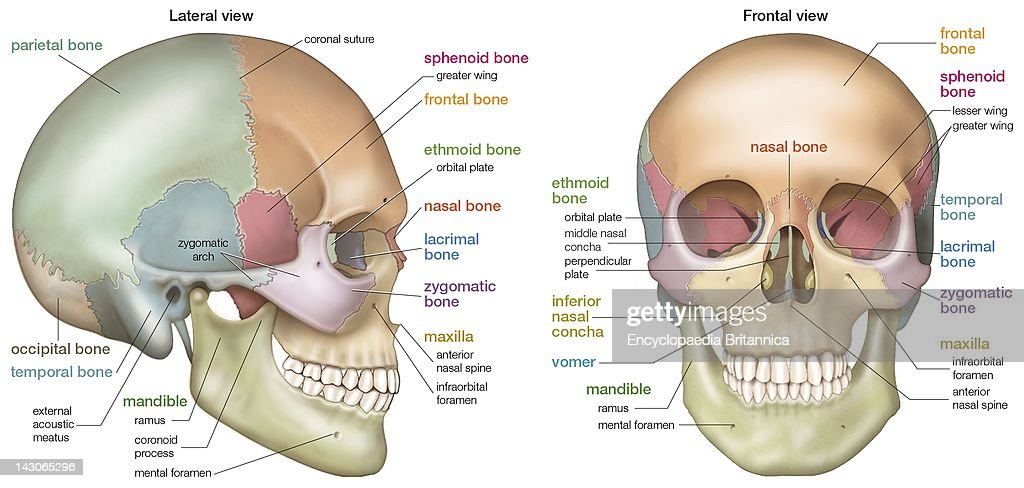 sphenoid bone frontal view – citybeauty, Human body