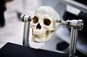 Human skull model in clamps for educational purposes closeup