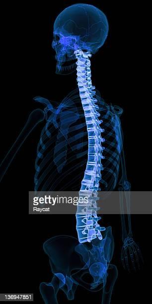 Coluna vertebral humana