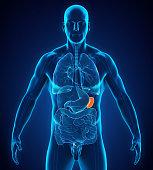 Human Spleen Anatomy Illustration. 3D render