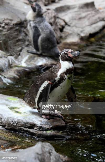 Humboldt penguin at the St Louis Zoo in St Louis Missouri on August 10 2017