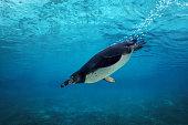 Humboldt penguin diving underwater.
