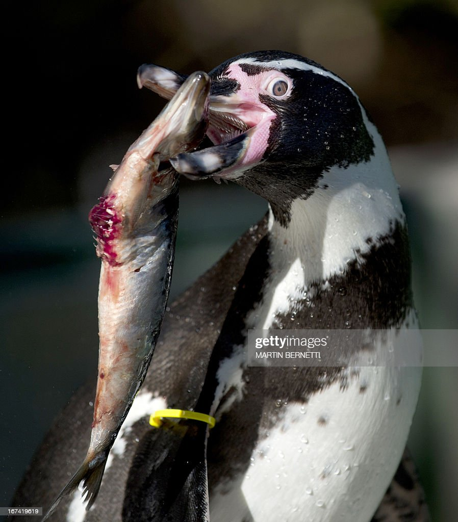 A Humboldt penguin eats a sardine at Santiago's zoo on April 3, 2013. The El Nino phenomenon and the action of fishermen, whose nets tangle up hundreds of penguins each year, threaten the species in the area of Pajaros Ninos island.