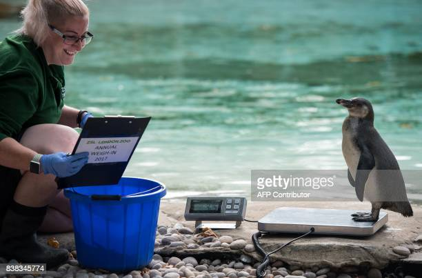 A Humboldt penguin is weighed on scales during a photocall at London Zoo on August 24 to promote the zoo's annual weighin event During the weighin...