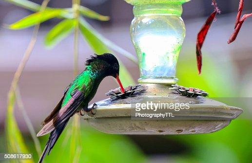 Humming bird drinking at a feeder. : Stock Photo
