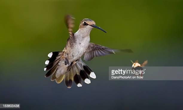 Hummingbird and bumble bee