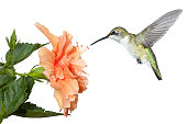 With its wings stopped and frozen in mid air; a ruby throated hummingbird hovers over a fully bloomed hibiscus in search of pollen and nectar. Isolated on a white background.