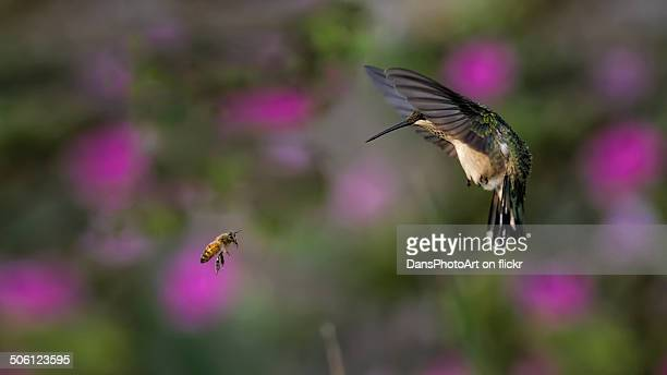Hummingbird and honey bee, face to face