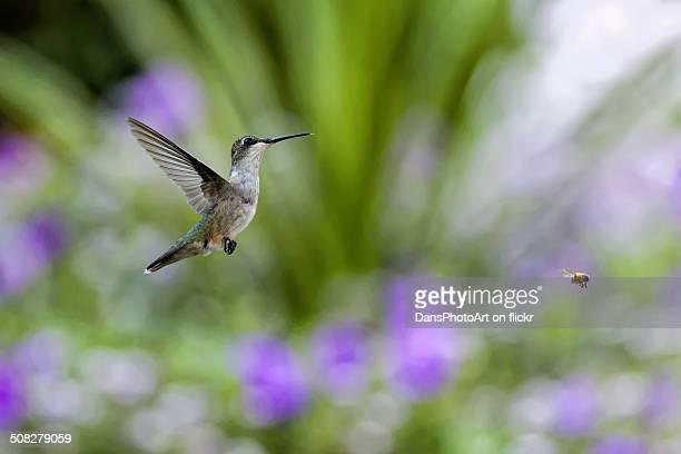Hummingbird and Honey Bee in Flight