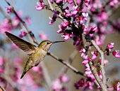 Close up of a vibrant hummingbird gathering nectar from a redbud tree in bloom