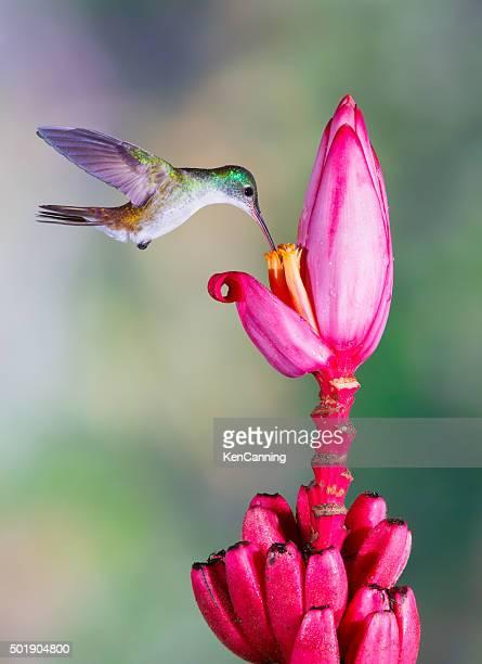 Hummingbird , Andean Emerald