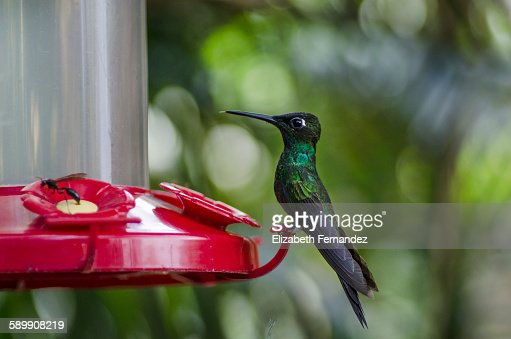 Hummingbird at bird feeder : Stock Photo