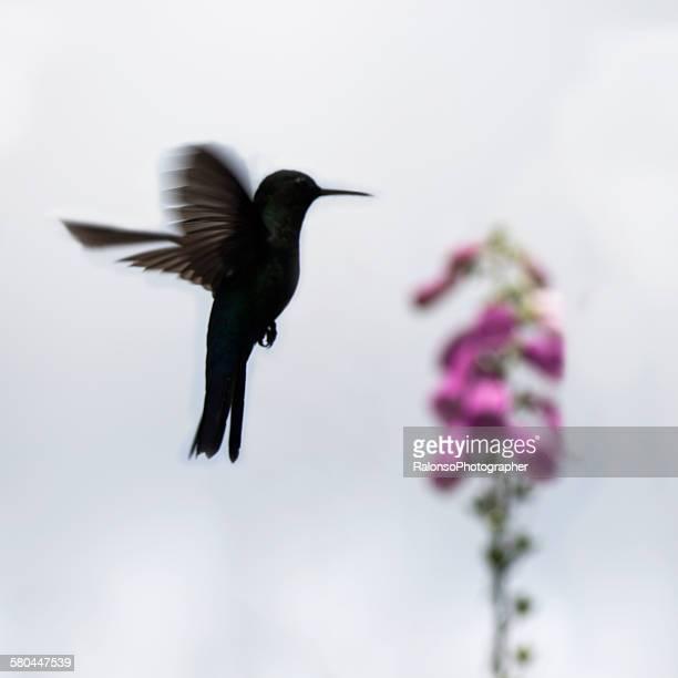 Hummingbird backlighting
