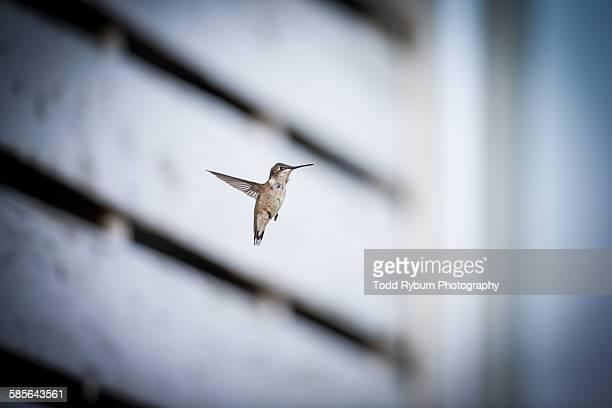 Hummingbird by Barn