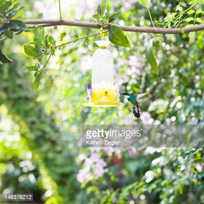 hummingbird drinking from water dispenser : Stock Photo