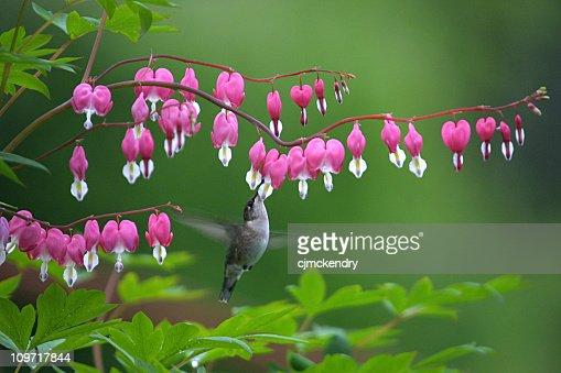 Hummingbird Feeding at Bleeding Heart Bloom