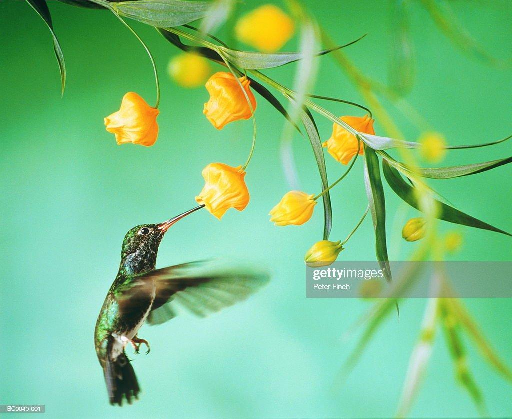 Hummingbird (Trochilidae) feeding from tropical bloom, close-up