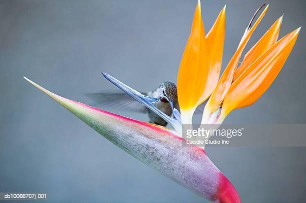 Hummingbird feeding on bird of paradise
