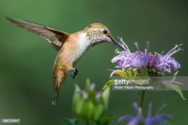 Hummingbird Feeding On Monarda