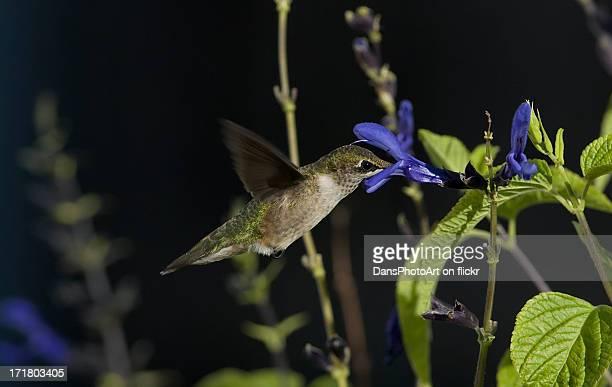 Hummingbird Feeding on Salvia_RGB3803