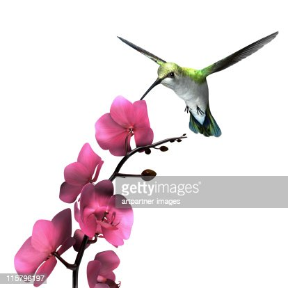 Hummingbird flying above an Orchid on White