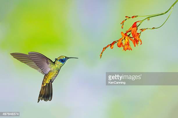Hummingbird , Green Violetear