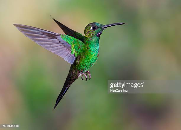 Kolibri, Green-crowned Brilliant