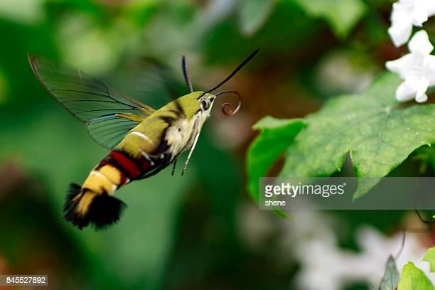 Hummingbird Hawk Moth in Flight