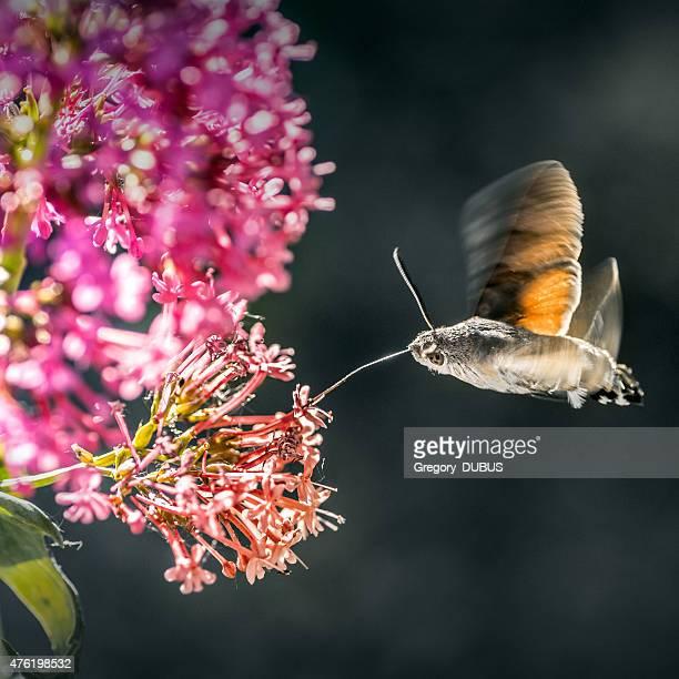Hummingbird Hawk-moth insect flying on Valerian flower
