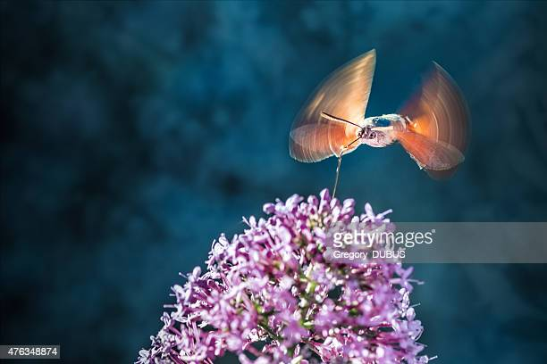 Hummingbird Hawk-moth insect flying on Valerian flower